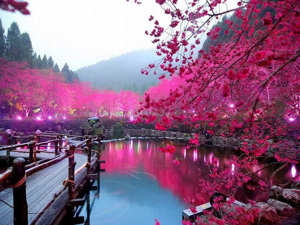 Musim Sakura Di Jepang