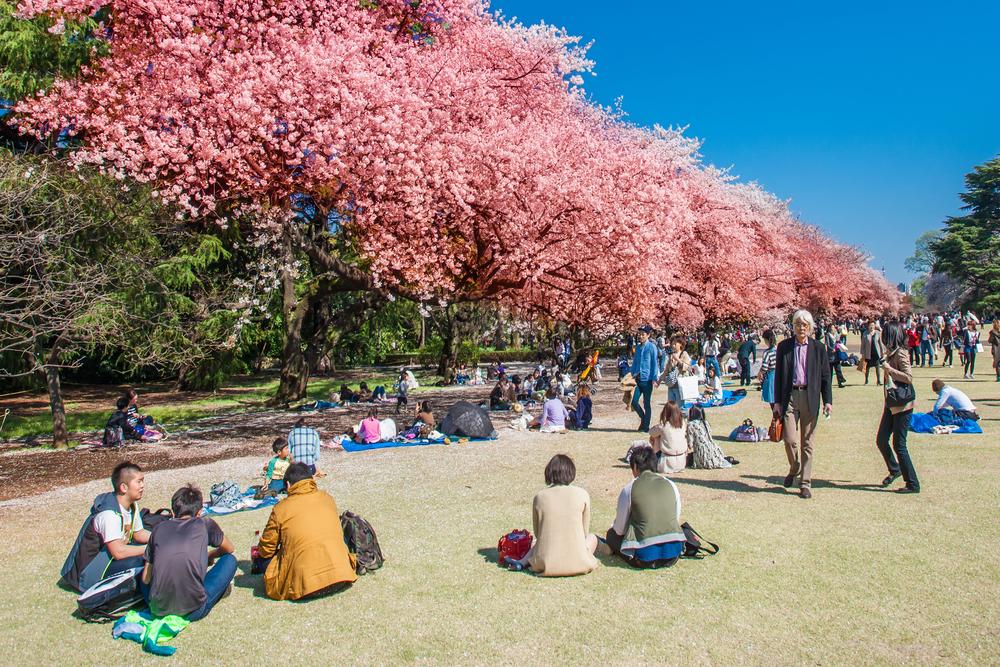 sakura-tour-sakura-blossoms